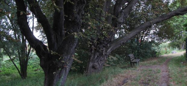 Alte Kastanien am Altenwerder Süderdeich (2010), Foto: G. Bertram