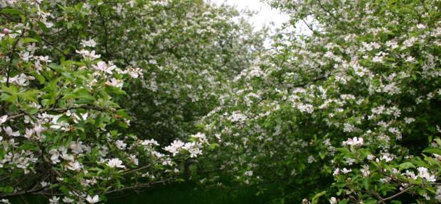 Apfelbäume in Moorburg