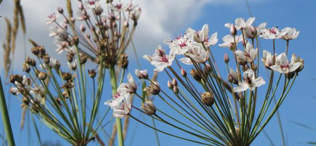 Schwanenblume (Butomus umbellatus), Foto: G. Bertram