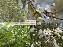Blüten von Birne, Kirsche, Traubenkirsche und Schlehe