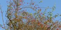 Hagebutten am Jakobsberg - aber keine Äpfel