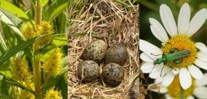 Straußblütiger Gilbweiderich, Kiebitzgelege, Grüner Scheinbockkäfer