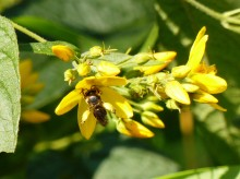 Schenkelbiene an Gilbweiderich