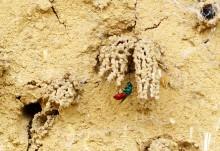 Bunte Goldwespe (an der Röhre der Schornsteinwespe)