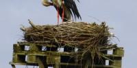 Storch im Horst