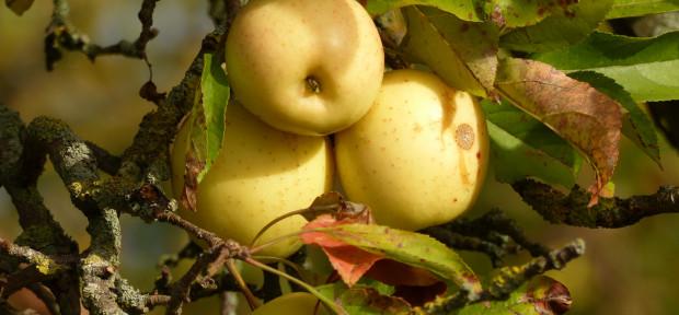 Die Äpfel sind reif: Golden Deilcious am Jaobsberg