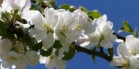 Apfelblüte im Mai