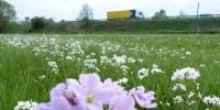 Wiesenschaumkraut im April, im Hintergrund die Autobahn