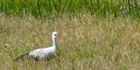 Weißstorch in Gut Moor